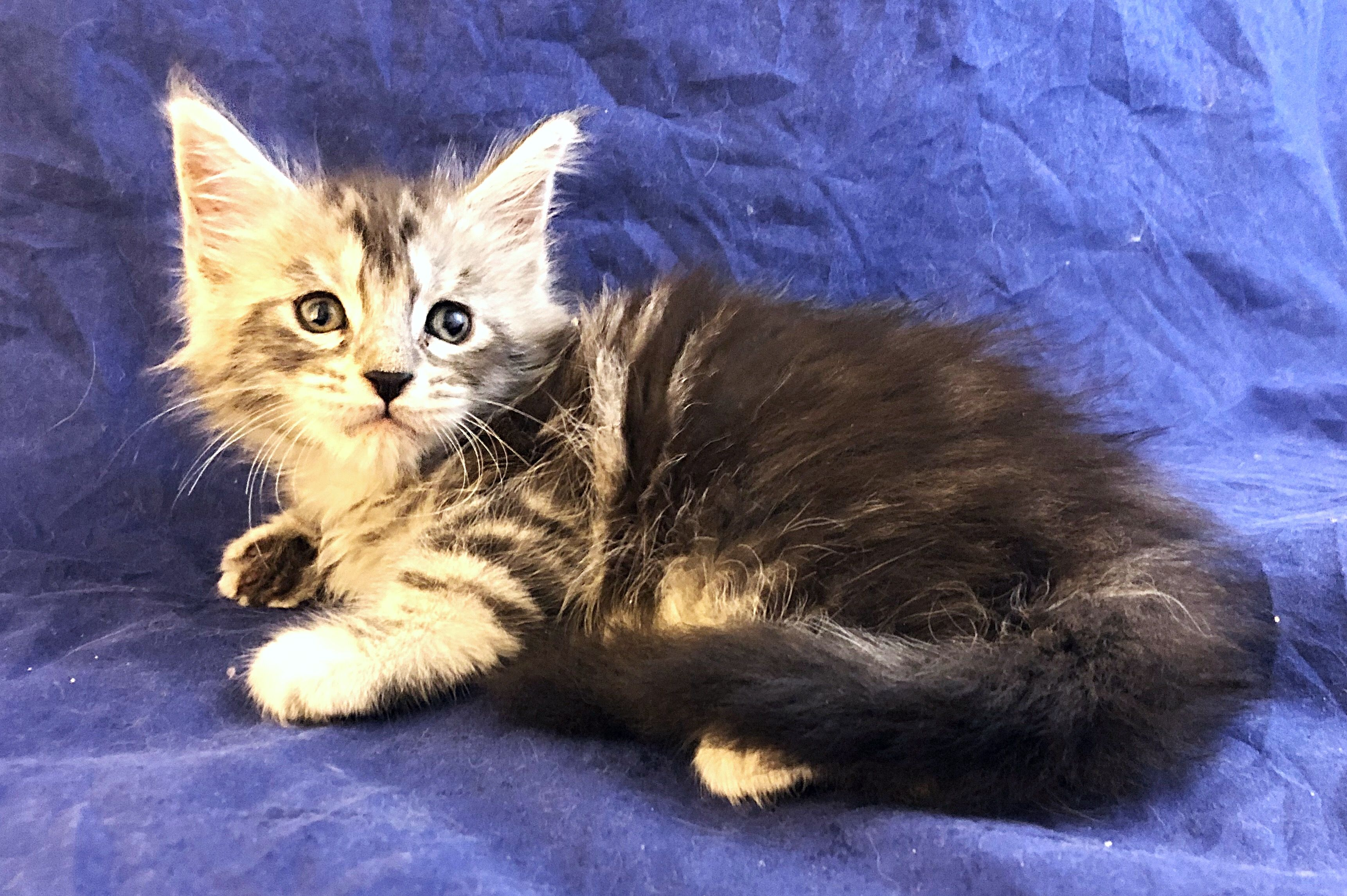 Maine Coon Kittens For Sale California Review Pets News And Review