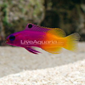 Saltwater Aquarium Fish For Marine Reef Aquariums Royal Gramma Basslet Marine Fish Tanks Saltwater Fish Tanks Marine Aquarium