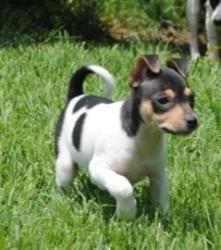 Nike Is An Adoptable Rat Terrier Dog In Wichita Ks Rat