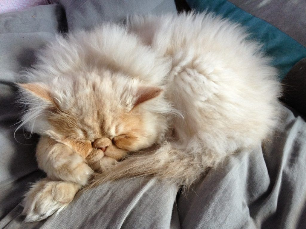 Persian Cat On Lap In 2020 Persian Cat Cat Lifespan Persian Cat White