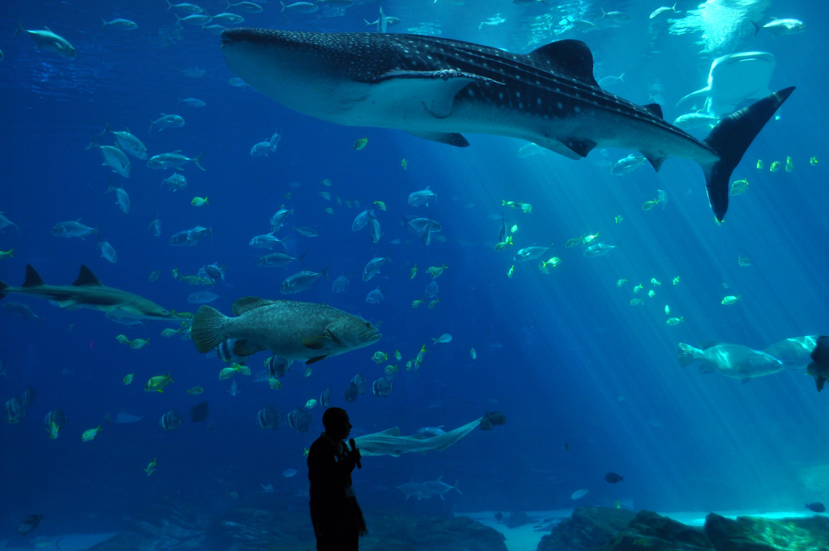 Whale shark at Georgia Aquarium in Atlanta, GA | Georgia ...