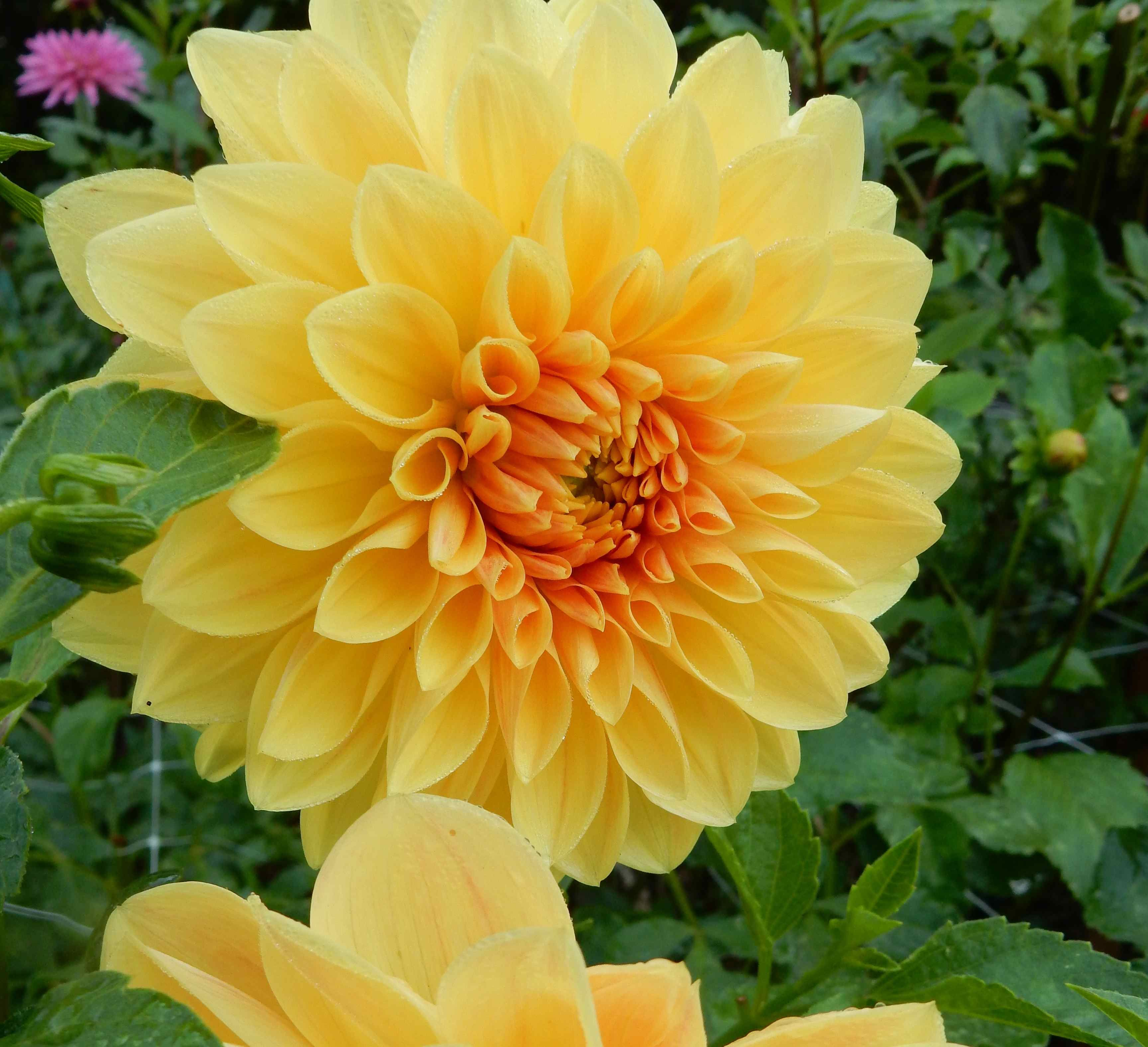 A beautiful yellow dahlia growing at fernrock farm delightful a beautiful yellow dahlia growing at fernrock farm izmirmasajfo