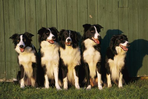 1154557 Border Collie Canis Familiaris Five Adults Sitting In A