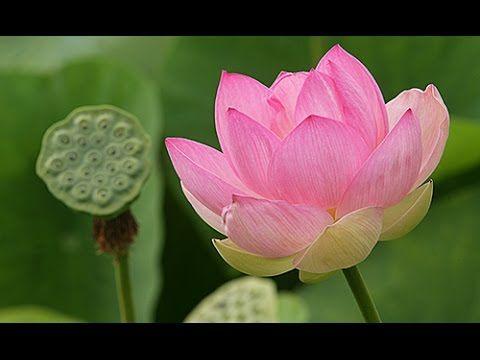 La Fleur De Lotus Revet Une Dimension Sacree Qui La Rend Plus