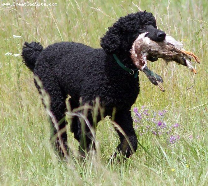 Black Standard Poodle Retrieving Duck Poodle Dog Dog Behavior