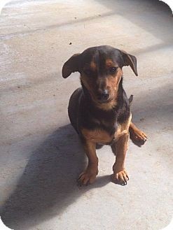 Dachshund Beagle Mix Dog For Adoption In Andalusia Pennsylvania