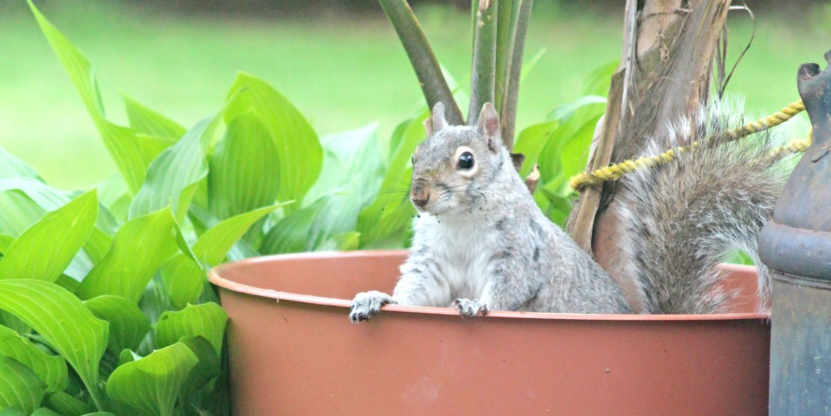 This Is The Easiest Way To Keep Squirrels Out Of Your Yard With Images Fast Growing Vines Climbing Flowering Vines Garden