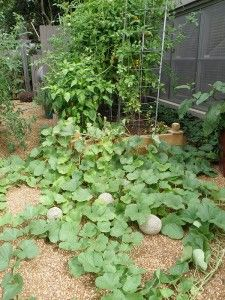 Growing Cantaloupe And Honeydew Melons Plants Growing