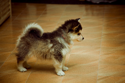 Oh. My. God. A Pomeranian-Husky mix. For tiny dog sleds?