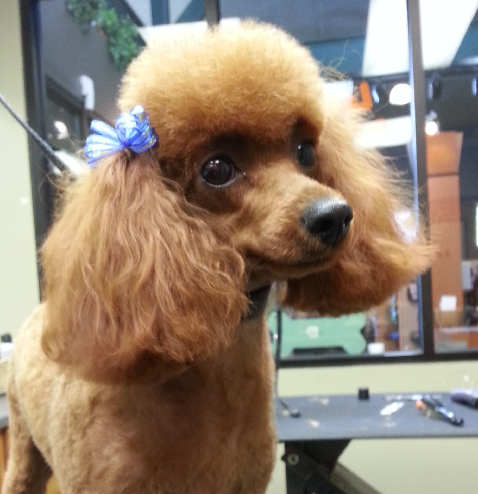 how to groom a standard poodle puppy cut
