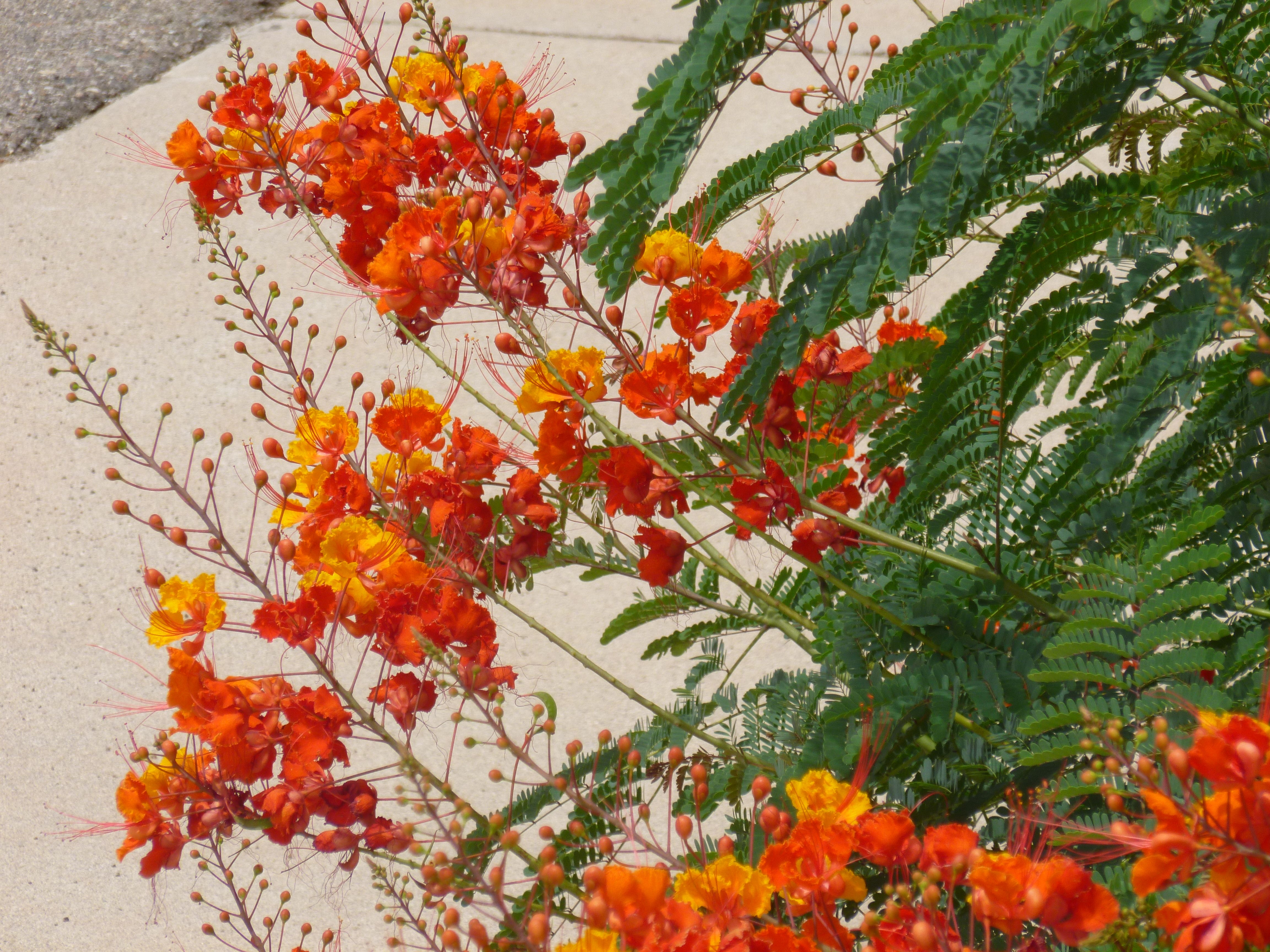 Mexican Bird Of Paradise Plants Arizona Texas Growing A Red