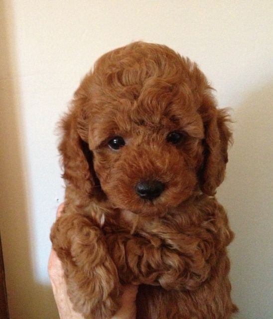 7 Weeks Old Red Poodle Puppy Red Poodle Puppy Poodle Puppy Red