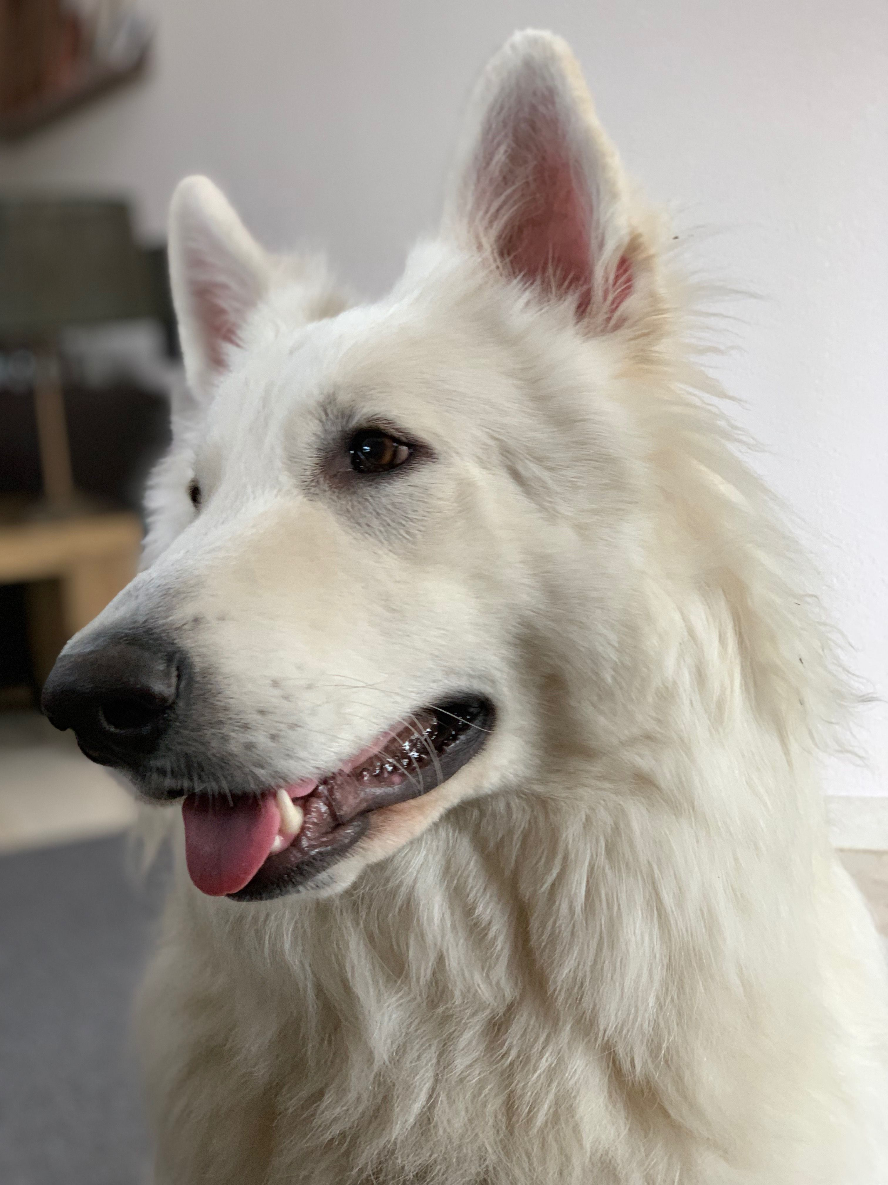 White shepherd puppies for sale nsw