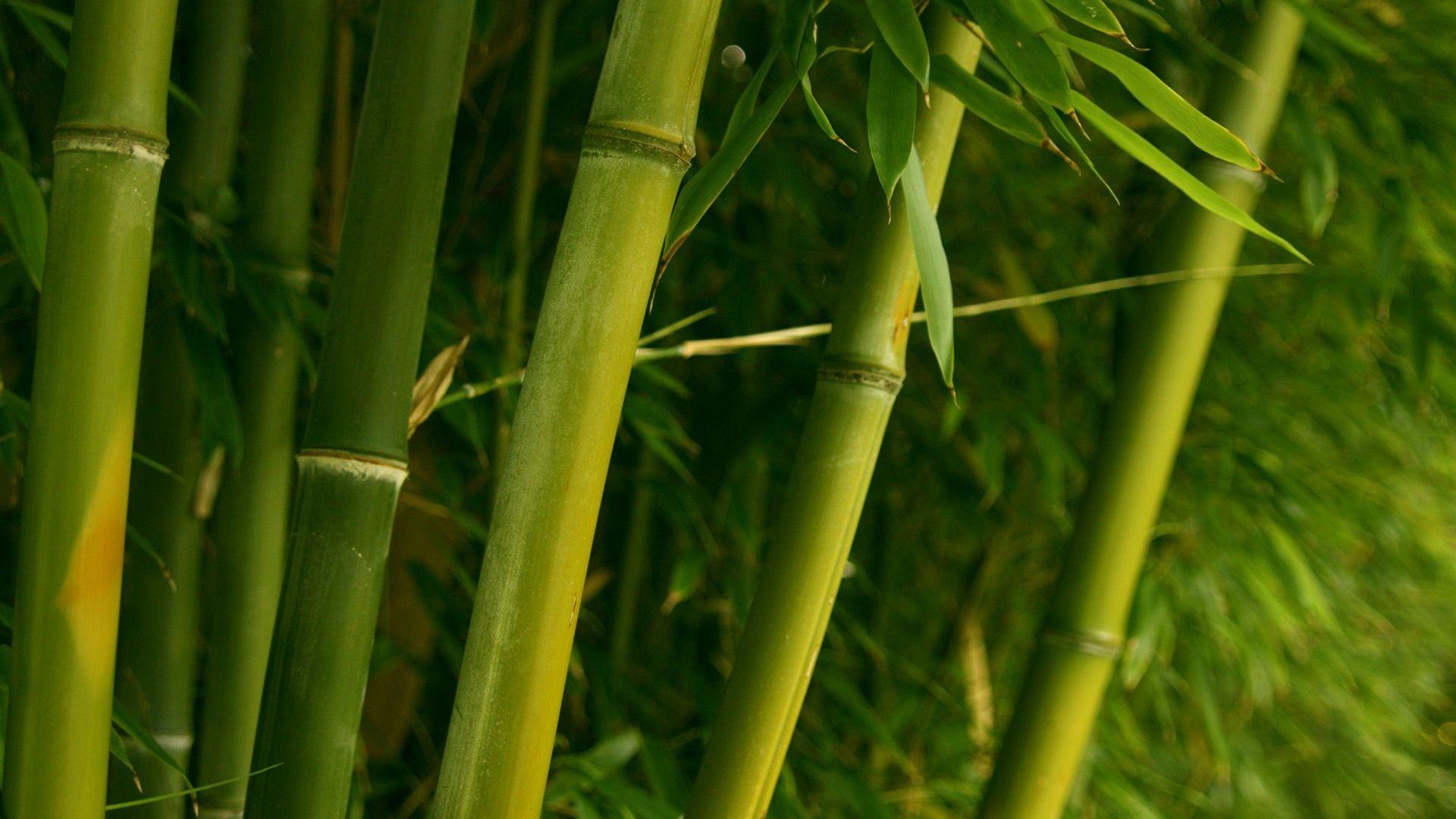 Free Hd Bamboo Wallpapers Bamboo Stalks Bamboo Wallpaper