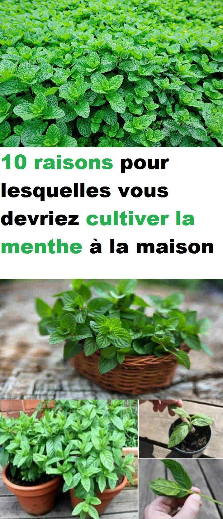 Planter Menthe En Pot 10 raisons pour lesquelles vous devriez cultiver la menthe à