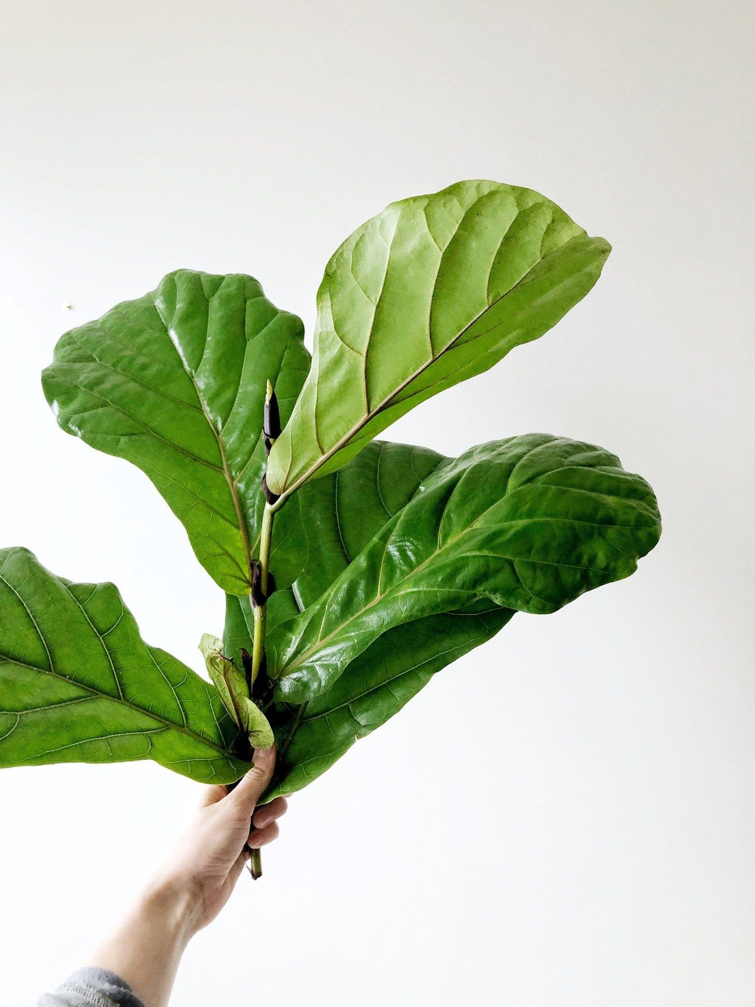 How To Propagate Your Fiddle Leaf Fig Tree Fiddle Leaf Fig Tree Fiddle Leaf Fig Fig Tree
