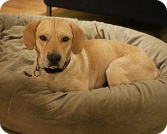 Labrador Retriever Beagle Mix Seattle Wa Acacia A Labrador