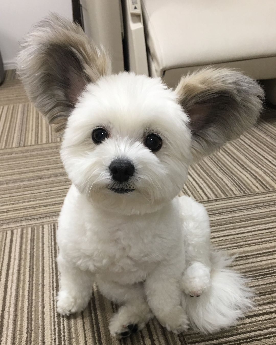 Instagram Marupgoma C The Cutest Maltese Papillon Mix Pup