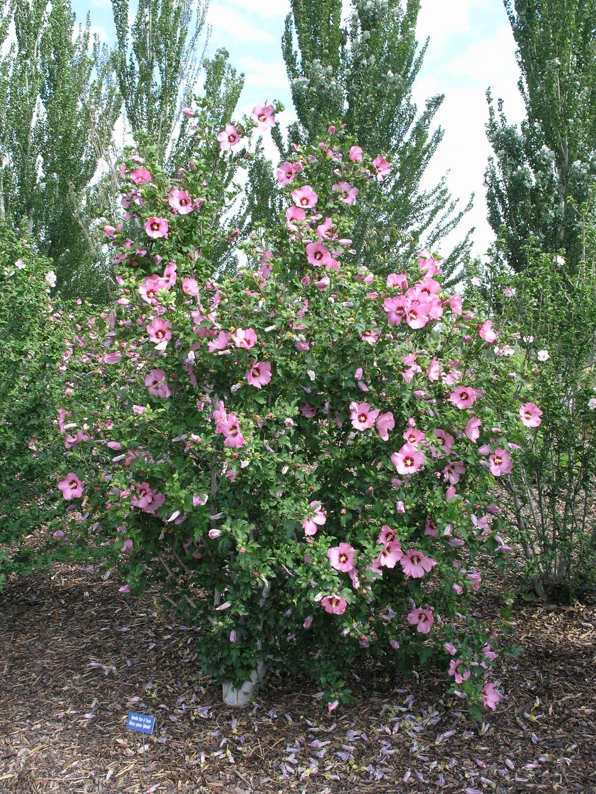 Rose of Sharon (also known as shrub althea and Chinese hibiscus ...