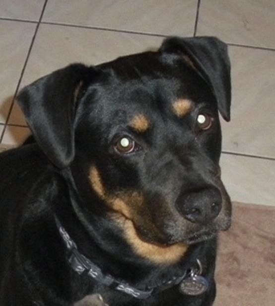Rottie Lab Mix Losing A Dog Dogs Pets