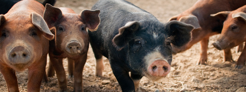 Do pigs that have had a good life taste better? Joel Salatin thinks so, and he has a happy—and successful—little farm in the Shenandoah Valley to prove it.