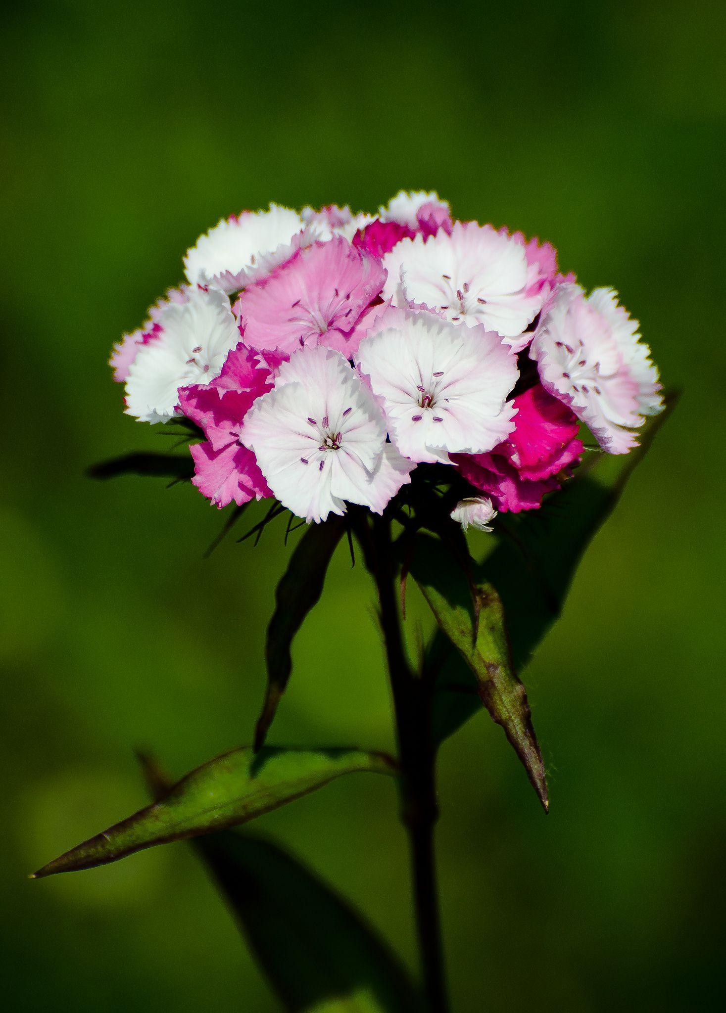 Sweet William Dianthus Barbatus Flowers And Plants Pinterest