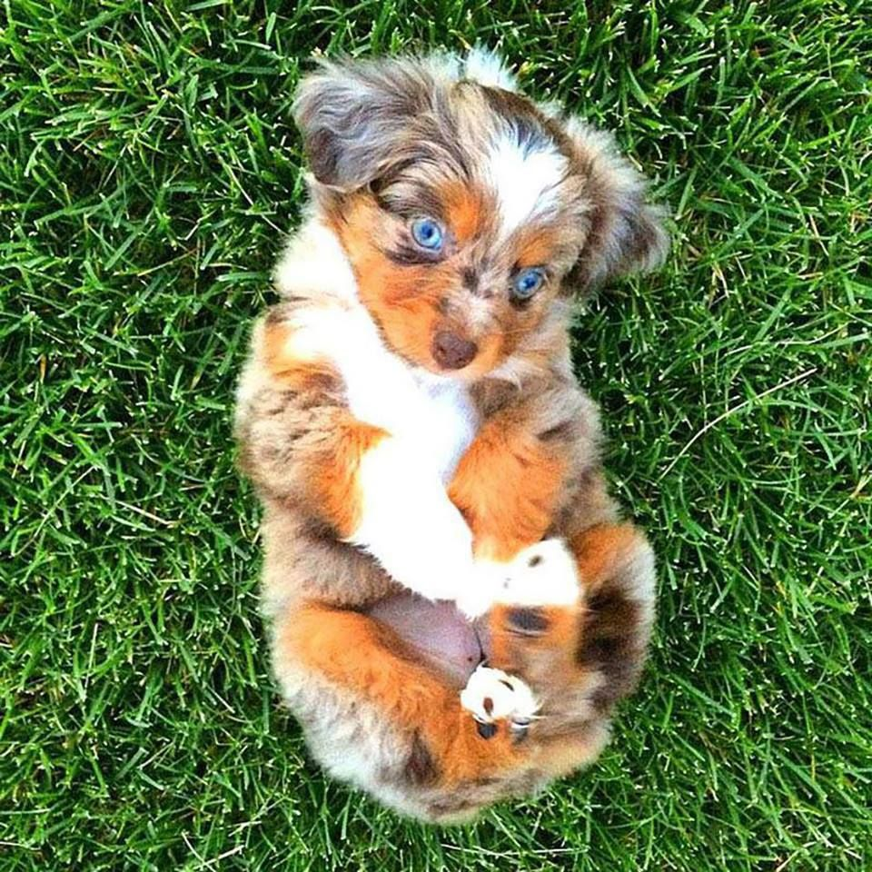 7weekold Australian Shepherd puppy.. Animals, Cute
