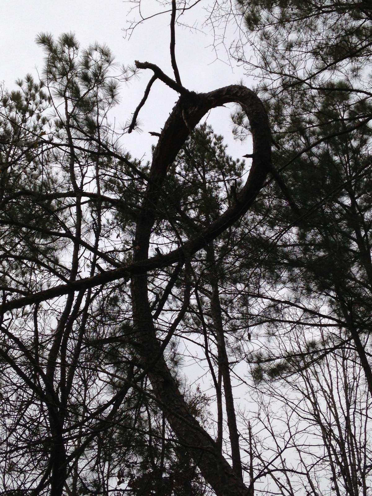Ribbon Tree in  Coosa County, Al Taken by Beverly Hay