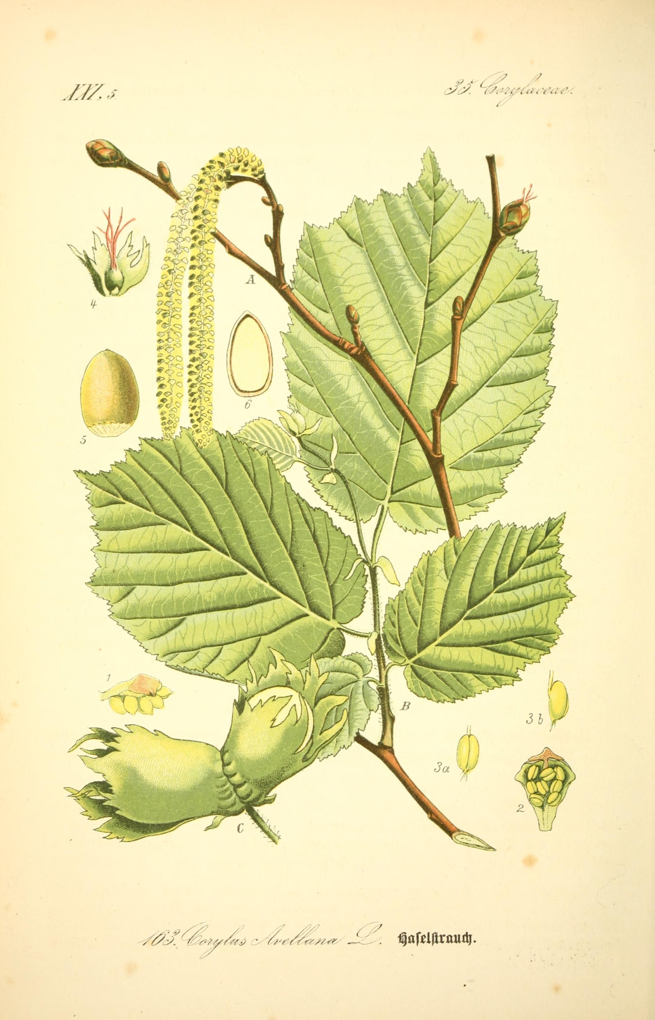 Image result for hazelnuts and leaves botanical illustration