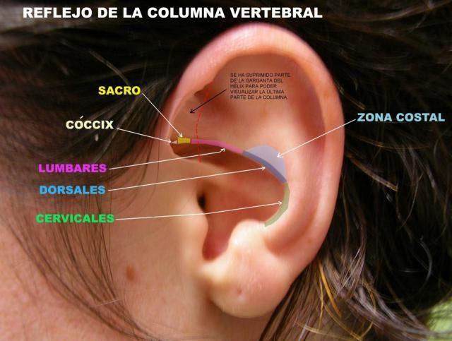 Auriculoterapia (4/11) . El reflejo auricular | Acupuntura oreja ...