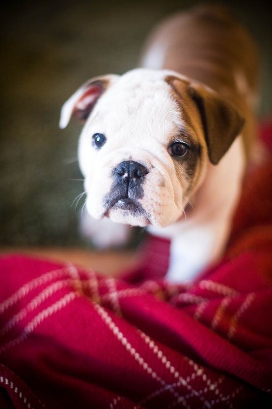 Bulldog Puppy Http Crushculdesac Tumblr Com Post 43045845801 Bulldog English Bulldog Dog