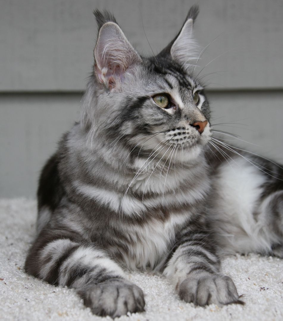 Home Maine Coon Breeder Seattle Maine coon, Coon