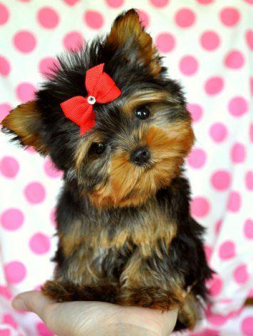 Awwww Yorkie Yorkie Puppy Puppies