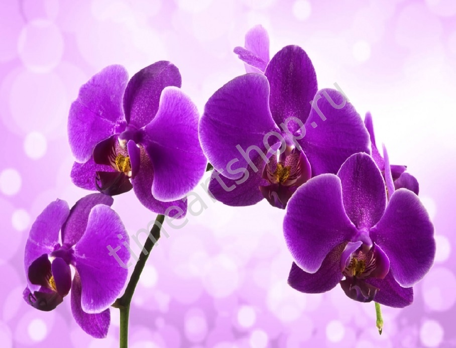 Фиолетовые орхидеи на сиреневом фоне, картина раскраска по ...