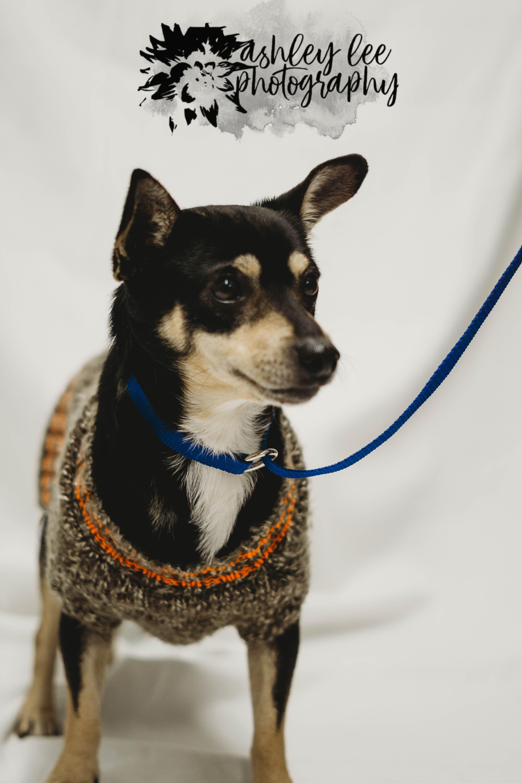 Jack Chi Dog For Adoption In Princeton Mn Adn 783336 On Puppyfinder Com Gender Male Age Adult Chi Dog Dog Adoption Dogs