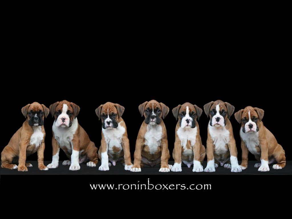 Boxer Puppy Wallpapers Puppy Wallpaper Boxer Puppy Boxer And Baby