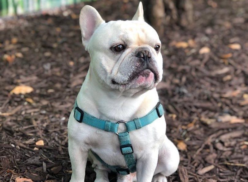 French Bulldog Breed Information Guide Quirks Pictures Personality Facts French Bulldog Breed Bulldog Breeds French Bulldog