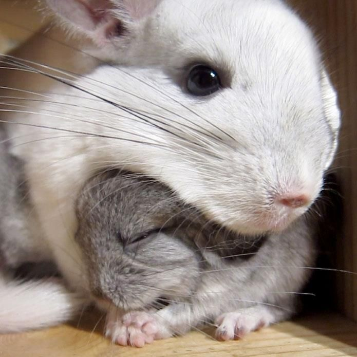 Mama chinnie and baby kit. So adorable. Chinchilla pet