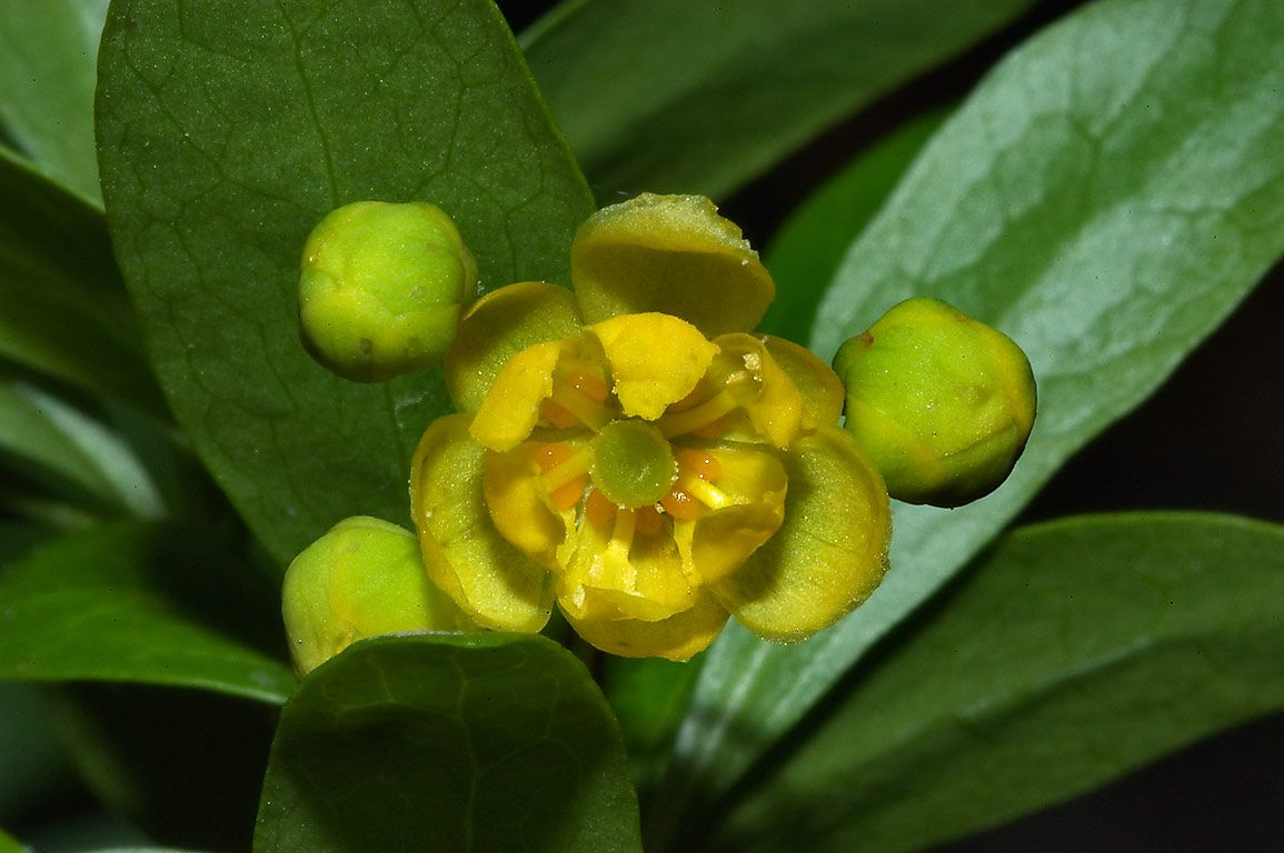 Fendler barberry (Berberis fendleri) flower...