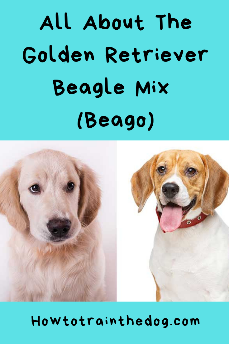 Golden Retriever Beagle Mix (Your Guide To Knowing The