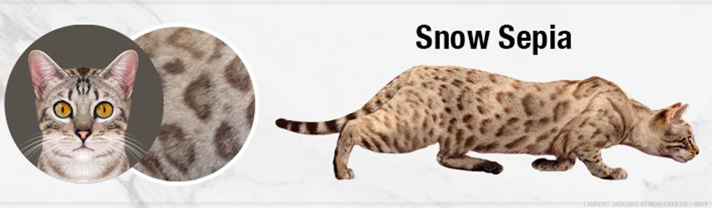 A Visual Guide To Bengal Cat Colors Patterns Cat Colors