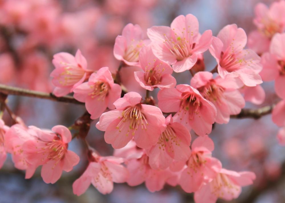 Pretty Pink Cherry Blossom Poster By Bear Amber Art Displate Cherry Blossom Flowers Flower Aesthetic Cherry Blossom Art
