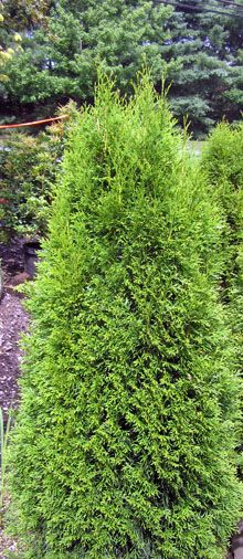 Nj Bamboo Landscaping: Emerald Green Arborvitae Thuja @ NJ Bamboo
