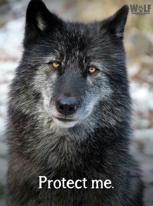 Grey Wolf - 81 living in Oregon