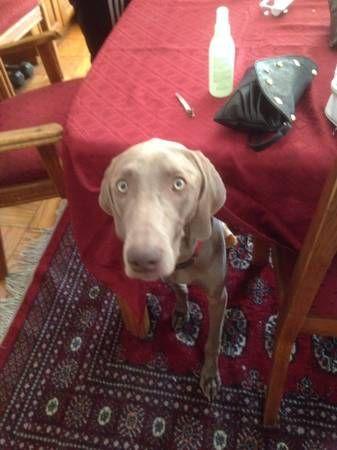 LOST DOG 1000 REWARD (California City) 4hsff4451867105