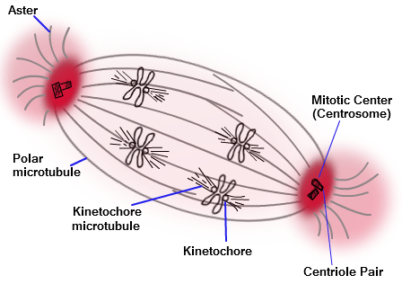Centriol mitosis diagram application wiring diagram centrioles are composed of mictrotubules which aid in cell division rh pinterest com blank mitosis diagram ccuart Gallery
