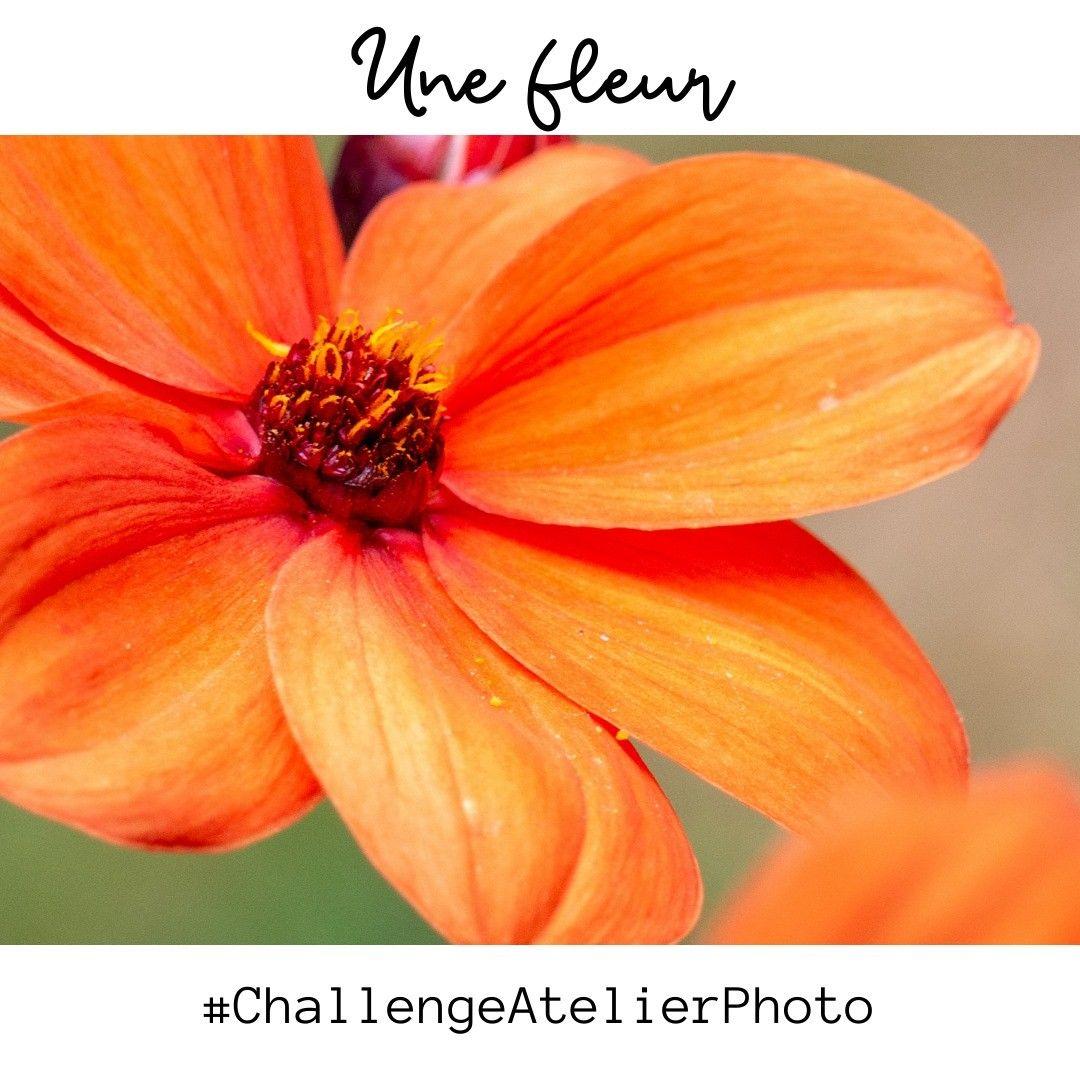 Encore un dahlia pour le #ChallengeAtelierPhoto, c'est de saison. Bon week-end ! #floweraddict #dahlia #challengephoto #...