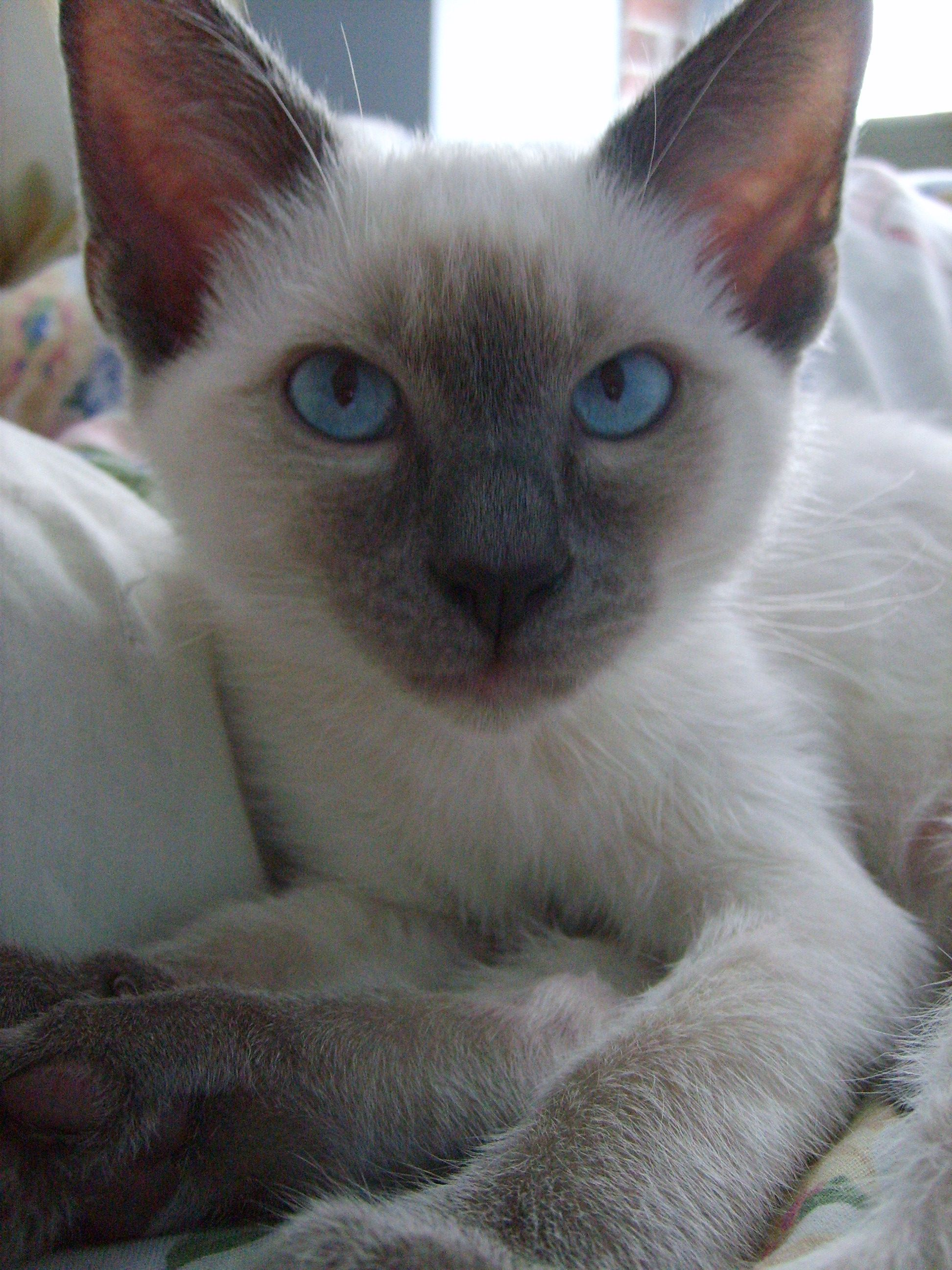 My Siamese as a kitten Pretty cats, Siamese kittens