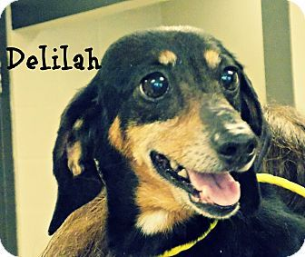 Dachshund Dog For Adoption In Defiance Ohio Delihah Dog
