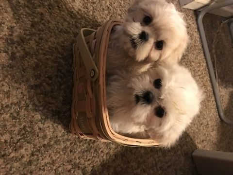Shih Tzu Puppy For Sale In Plymouth Mi Adn 69299 On Puppyfinder